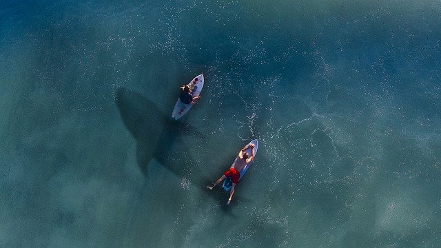 sharks in the water