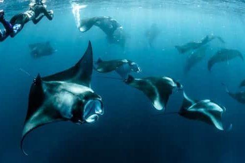 manta ray in sea