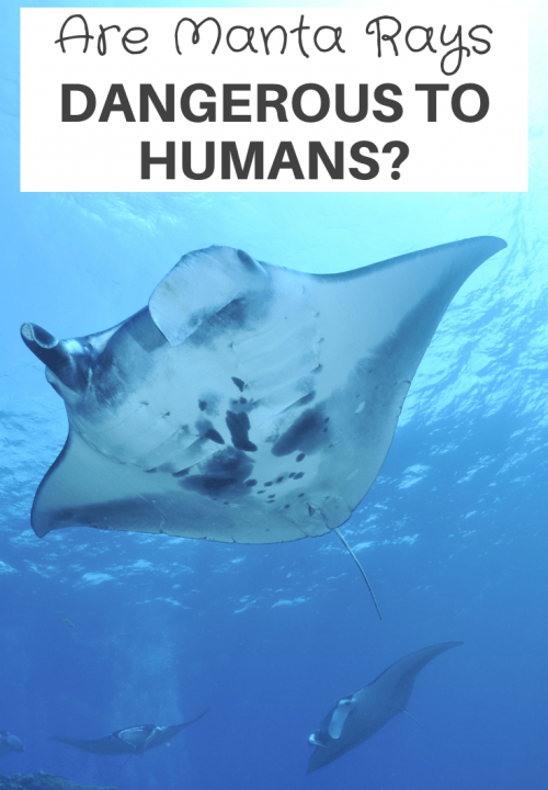 Are Manta Rays Dangerous To Humans